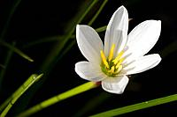 Delicate white Lilly type flower, yellow center, green stems and dark background, Malawi