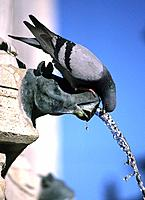 Domestic Pidgeon drinking at fountain Fontana Maggiore, Perugia, Umbria, Italy