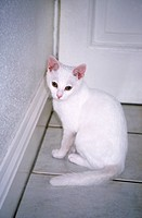 White Kitten 