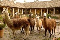 Ecuador - Cotopaxi Province. Llamas at Hacienda San Agustin de Callo