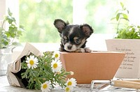 Chihuahua puppy in a flower pot