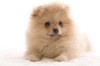 Close-up of a Pomeranian puppy