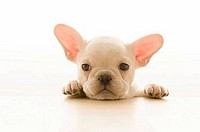 Close-up of a French bulldog puppy