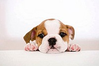 Portrait of a bulldog puppy