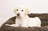 Yellow Labrador Retriever puppy on a cushion