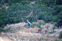 europe, portugal, naturtejo, idanha_a_nova, herdade da poupa, deers