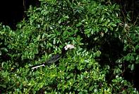 toucan, pangkor laut resort, malaysia, asia