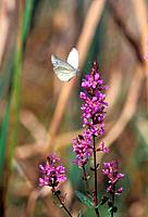 LYTHRUM SALICARIAPURPLE LOOSESTRIFE+PIERIS NAPI _ ARTOGEIA NAPIGREEN_VEINED WHITEFLYING