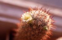 Mammillaria microhelia, Cactus _ Pincushion cactus
