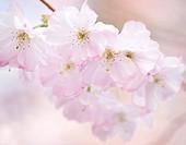Prunus sargentii, Cherry