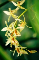 Coelogyne trinervis, Orchid