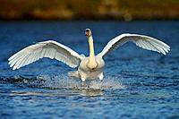 Mute Swan, Cygnus olor, Germany