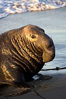 Bull Elephant Seal at sunrise in San Simeon, California, USA