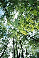 Treetops,