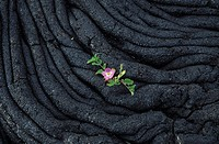 Sprout breaking through lava, Big Island, Hawaii, USA,