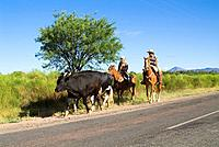Gauchos herding Domestic Cattles on Ruta 40, Calchaqui valley, Argentina, cowboy