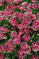 Ice plant, full frame