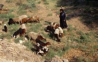 Egypt Goat Herder And Goats