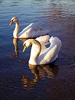 Europe, UK, Sunbury on Thames, swans