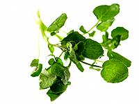 Bunch of Watercress (thumbnail)