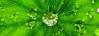 One green Leaf with dew