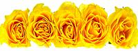 Five Yellow Roses in a row