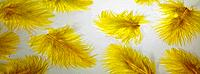 Yellow feathers on a table