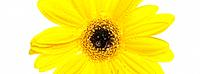 One yellow Gerbera flower