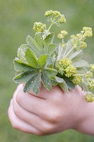 Child´s hand holding freshly picked lady´s mantle