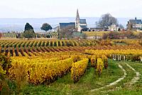 Vineyard, in the background the church of Turquant, Maine et Loire, France