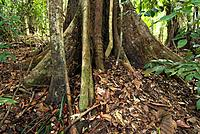 Tropical rainforest, butress roots and trunk of a giant rainforest tree, Kalimantan, Borneo, Indonesia