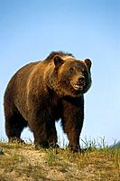 Brown Bear Walking in Meadow Captive AK SC Summer Big Game Alaska