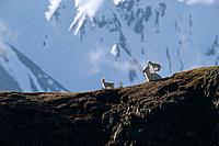 Dall Sheep Lamb Jumps on Mothers Back Denali NP IN AK Spring Polychrome Pass