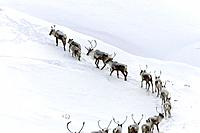 Caribou Herd in Deep Snow on Arctic Tundra AK Winter