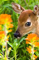 White_tailed deer fawn in wildflowers & tall grass Minnesota Spring Captive