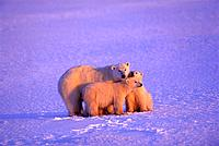 Polar Bear w/ Cubs Cuddling Hudson Bay Evening Light CA/nEnhanced image