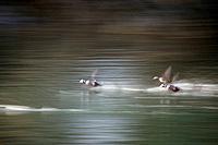 Harlequin Ducks Skim Across Water on Take Off Blurred AK SW Afognak Is Kodiak Archipelago