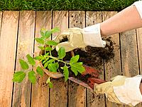 Close_up of a person's hands planting a tomato plant