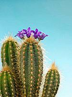 Close_up of cactus flowers