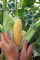 Shucking an Ear of Corn on the Stalk