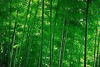 Bamboo Trees in the Woods, Front View, Pan Focus