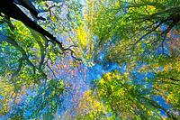 Trees in the Woods, Low Angle View, Lens Flare