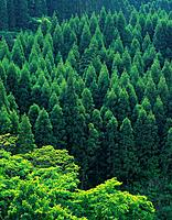 Trees in the Forest, High Angle View, Pan Focus