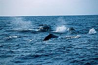 A Pod of Humpback Whales Surfacing