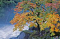 Autumn maple tree at Eagle Falls, Skykomish River, Washington State, USA