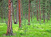 Early spring in ponderosa pine forest, Eastern Oregon, USA
