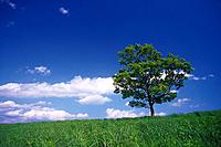 Tree in the Field and Blue Sky, Low Angle View, Pan Focus