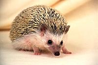 a Hedgehog, Looking at Camera, Side View, Differential Focus