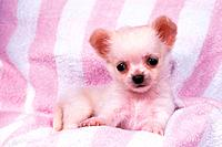a Chihuahua, Lying on a Striped Towel, Looking Down, Front View