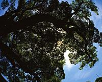 Big Tree and Sunlight Filtering Down, Silhouette, Low Angle View, Pan Focus